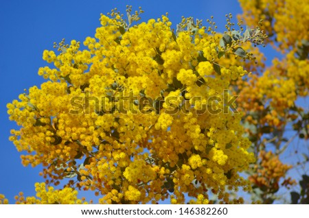 Yellow Flowers of Wattle Acacia