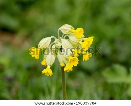 Yellow flowers of wild plant Common Cowslip - stock photo