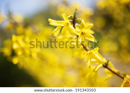 Yellow flowers on a tree branch