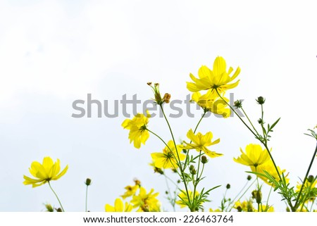 Yellow flowers on blue sky