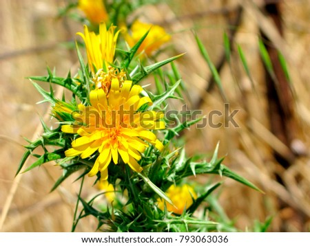 Yellow flowers on spiny stem closeup stock photo royalty free yellow flowers on spiny stem close up scolymus hispanicus the common golden mightylinksfo