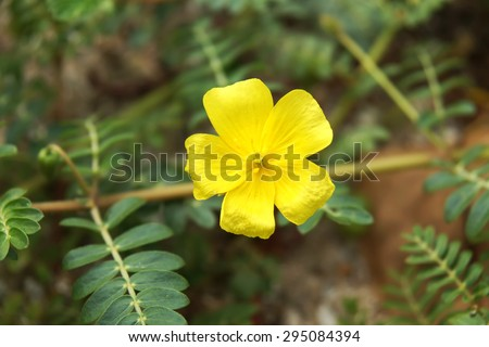 Yellow flowers on the beach. (Tribulus terrestris Linn.) - stock photo