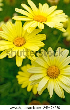 Yellow flowers on the meadow