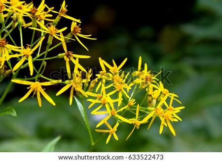 Yellow flowers senecio ovatus common names stock photo royalty free yellow flowers senecio ovatus common names wood ragwort on forest mightylinksfo