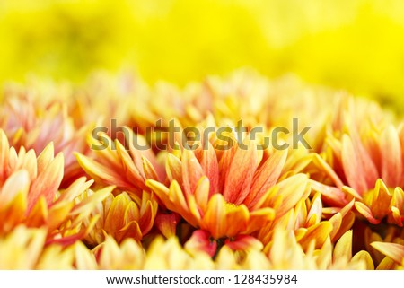 Yellow flowers with yellow background - stock photo