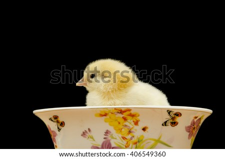 yellow fluffy chicken in a porcelain bowl on black background - stock photo