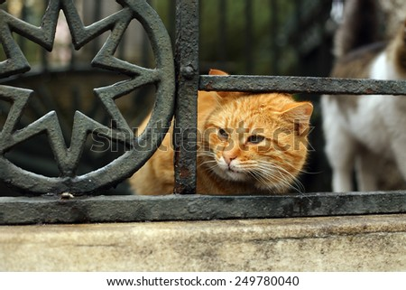 Yellow fluffy Istanbul alley cat - stock photo