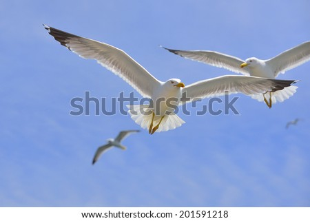 yellow-footed seagull in flight - stock photo