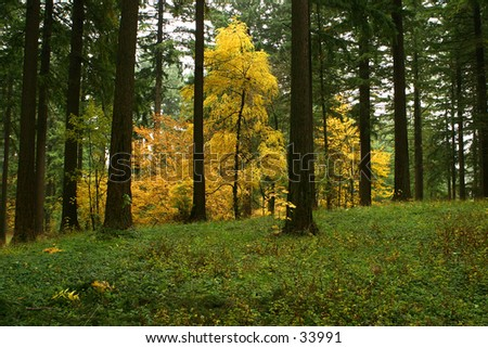 Yellow Forest Eruption - stock photo