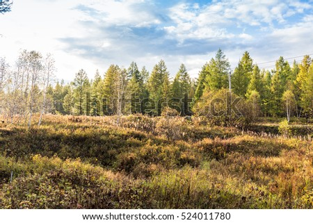yellow forest under blue sky in Arxan, Inner mongolia, China