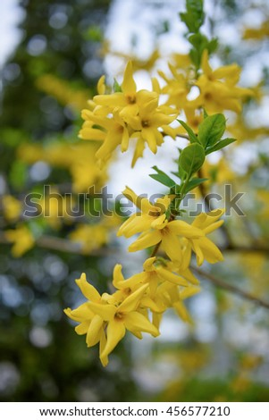 Yellow Forsythia blooming bush background