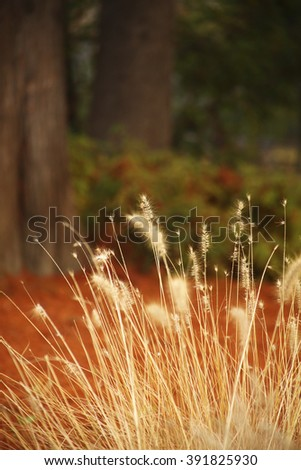 Yellow fountain grass in park.