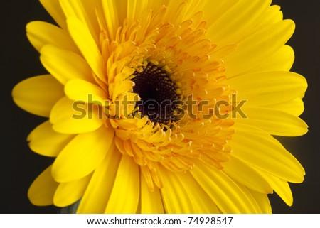 yellow Gerber close up on dark background - stock photo