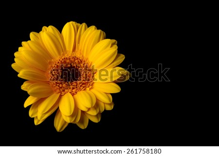 Yellow gerber daisy isolated on black background - stock photo