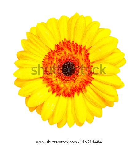 yellow gerber flower isolated on white background