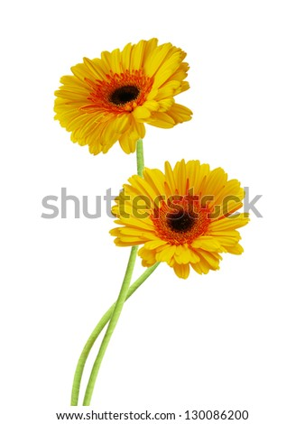Yellow Gerber flowers, daisies isolated on white - stock photo