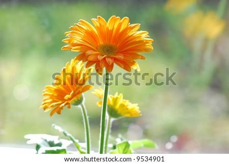 Yellow Gerber in the garden - stock photo