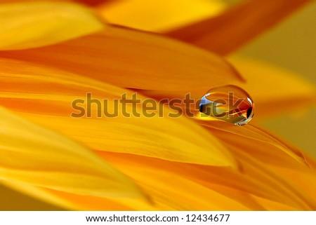 Yellow gerber with sunshine water drop - stock photo