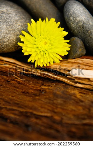 Yellow gerbera and stones on driftwood