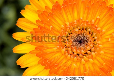 Yellow Gerbera bloom in garden with blur background.