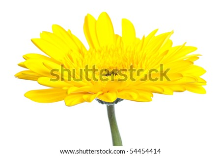 Yellow gerbera blossom isolated on white background