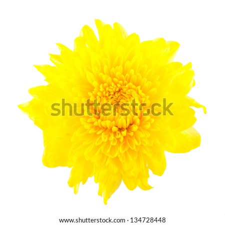 Yellow gerbera daisy blossom isolated on white background
