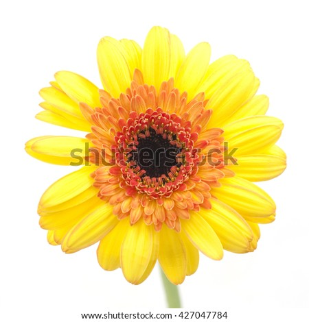 yellow gerbera daisy on a white background