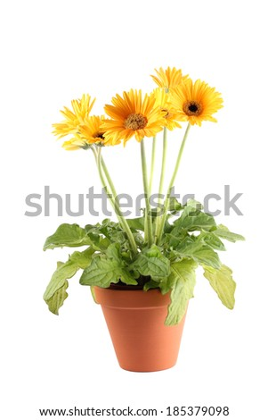 Yellow Gerbera daisy potplant in terracotta flower pot with five blooms  - stock photo