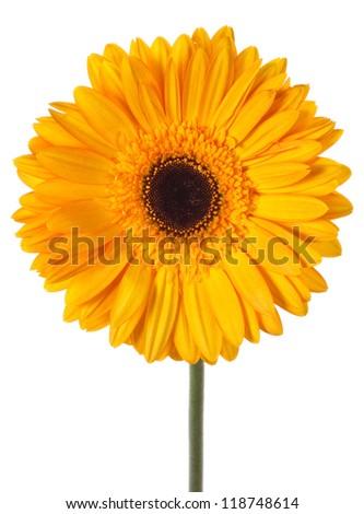 yellow gerbera flower - stock photo
