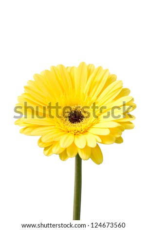 Yellow gerbera flower (Brilliance)  isolated on white.