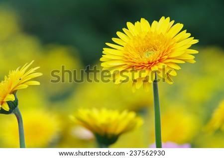 yellow Gerbera flowers in the flora garden  - stock photo