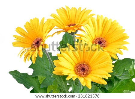 Yellow  gerbera flowers isolated on white - stock photo