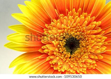 Yellow gerbera / gerber flower macro - stock photo