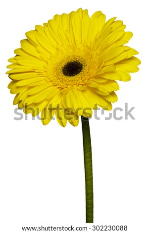 Yellow gerbera isolated on white background.