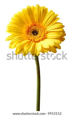 yellow gerbera isolated on white background - stock photo