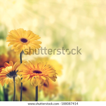 Yellow gerberas with a shiny lights background - stock photo
