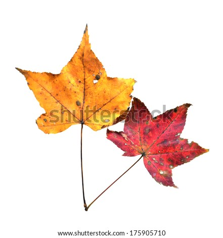 Yellow Ginkgo Leaf Isolated on White