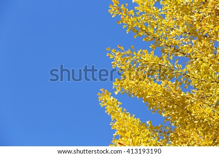 Yellow ginkgo leaves in autumn with blue sky background - stock photo