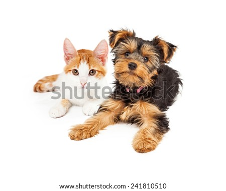 Yellow gold kitten laying next to a Yorkshire Terrier puppy - stock photo