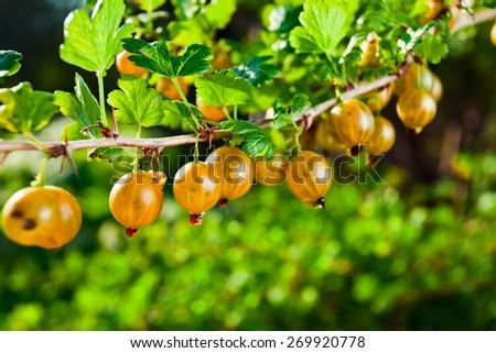 yellow gooseberry on branch in garden - stock photo