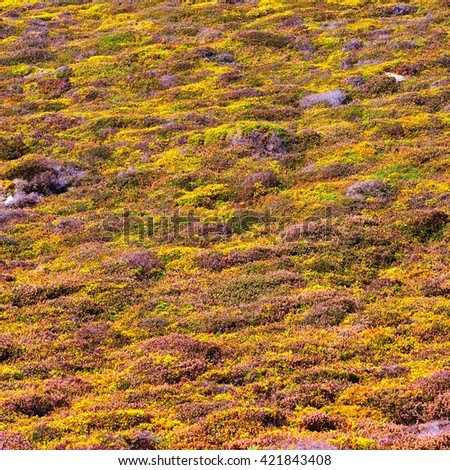 Yellow gorse and heather moorland texture in autumn Brittany, France - stock photo