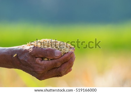 Yellow grain in the hands of farmers. Natural background blurred.