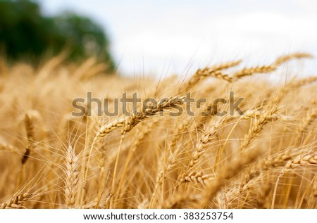 Yellow grain ready for harvest growing in a farm field - stock photo