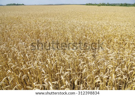 Yellow grain (wheat) ready for harvest growing in a farm field