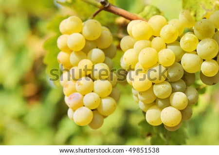 Chardonnay grape Stock Photos, Images, & Pictures | Shutterstock