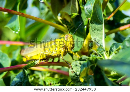 yellow grasshopper in nature habitat - stock photo