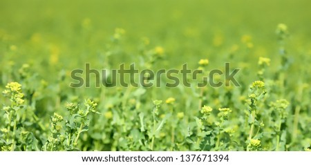 Yellow-green field with flowers in spring