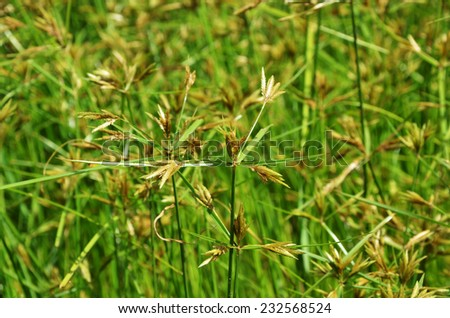 yellow green flower of Thai sedge, papyrus, natural fiber growing in natural wetland - stock photo
