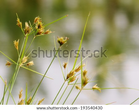 yellow green flower of Thai sedge, papyrus, natural fiber growing in natural wetland can be proceessed for use as raw materials for many sorts of traditional hand craft work in Thailand and asia. - stock photo