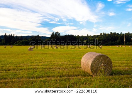 Yellow-green meadow with cut grass rolled up in a large cylindrical rolls and left on the meadow for the complete drying of hay. Compressed hay is used as feed for animals in winter. - stock photo